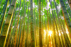 Bamboo forest with sunny in morning. Bamboo forest with sunny in morning Stock Image