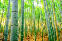 .Bamboo forest with sunny in morning Royalty Free Stock Photo