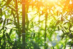 Bamboo forest at sunset. Rays of the sun through the bamboo branches Royalty Free Stock Photo