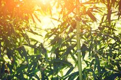 Bamboo forest at sunset. Rays of the sun through the bamboo branches Stock Photo