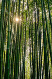 Bamboo forest at sunset Royalty Free Stock Images