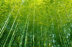 Bamboo forest tall trees China looking up into canopy Stock Image