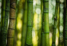 Bamboo forest. In The Terra Nostra Gardens in Furnas,  on Sao Miguel island, Azores, Portugal Royalty Free Stock Photos