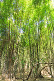 Bamboo Forest in Thailand Stock Images