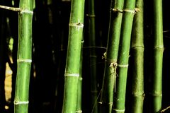 Bamboo  in the forest. From thailand Stock Image