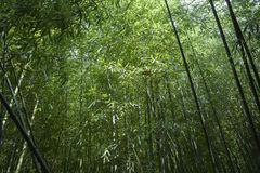 Bamboo forest. Thick bamboo forest Royalty Free Stock Image