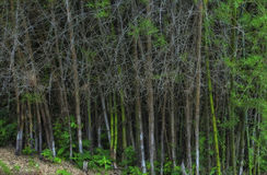 Bamboo forest with thorn. Clump of Bambusa bamboo forest with thorn royalty free stock photos