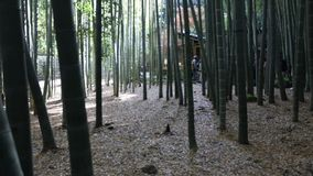 Bamboo forest time lapse stock video footage