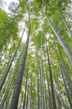 Bamboo Forest to sky Stock Images