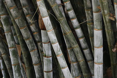 Bamboo forest. Bamboo tree in botanical garden, Kandy, Sri Lanka royalty free stock photos
