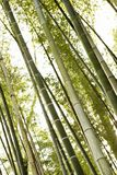 Bamboo forest trees. Royalty Free Stock Photography