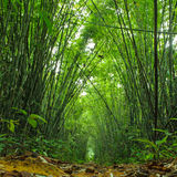 Bamboo forest. Trees background inside tropical jungle Royalty Free Stock Photography