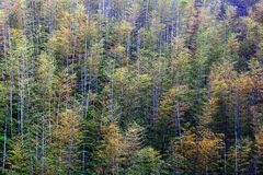 Bamboo Forest Trees Stock Photos