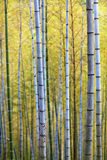 Bamboo Forest Trees Stock Image
