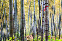 Bamboo Forest Trees Stock Images