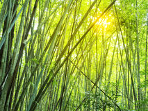 Bamboo forest in tropical Royalty Free Stock Photos