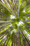 Bamboo forest tropical exotic green background. Bamboo forest looking up at the sky tropical exotic green background with copy space a rhythm pattern of Stock Images