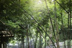 Bamboo forest in tropical weather Thailand Royalty Free Stock Photo