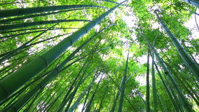 Bamboo forest. The trunks of bamboo stretch up high
