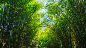 Bamboo forest tunnel with green leaves in the rainforest in Asia royalty free stock images