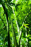 Bamboo forest vertical view Stock Photo