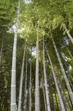 Bamboo forest. With very tall bamboo trees Stock Photography