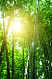 Bamboo forest view Royalty Free Stock Photo