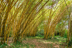 Bamboo forest view pano jungle very high Stock Photo