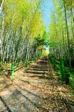 Bamboo Forest Walk Track Royalty Free Stock Photos