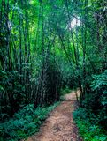 Bamboo forest. Walking through bamboo forest in the national park Khao Sok, Thailand Royalty Free Stock Image