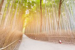 Bamboo forest with walking way at Arashiyama Kyoto Japan. Natural landscape background Royalty Free Stock Image