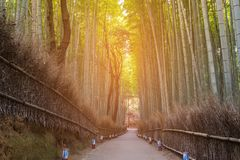 Bamboo forest with walking wa stock images