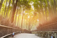Bamboo forest with walking way in Arashiyama Park. Kyoto Japan Royalty Free Stock Photo