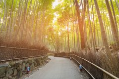 Bamboo forest with walking way with sun light. Natural landscape background Royalty Free Stock Photography