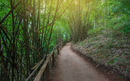 Bamboo Forest Walkway. Nature bamboo forest with paving soil walkway Stock Photography