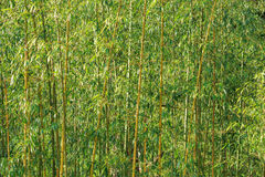 Bamboo forest wall. Golden Bamboo forest wall royalty free stock photos
