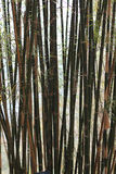 Bamboo forest. Bamboo wood is more simple and fast growing. Grows well in all weather conditions existed in the ground all the major types of bamboo plants is stock photo