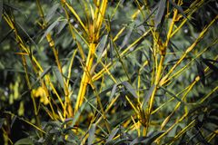 Bamboo Forest Yellow Bamboos royalty free stock photo