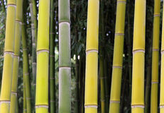 Bamboo forest in yellow green color. Close up big fresh bamboo forest in yellow green color Stock Photo