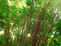 Bamboo Forest yellow Stock Photos