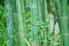 Bamboo forest. Zen tropical ambiance Royalty Free Stock Images