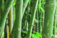 Bamboo forest. Zen tropical ambiance Stock Photography