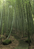 Bamboo forests Stock Photography
