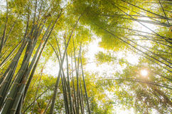 Bamboo forests Royalty Free Stock Image