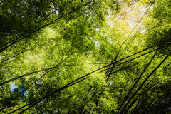 Bamboo forests are rocking motion when the wind blows. With such light in the afternoon Stock Image