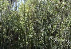 Bamboo forrest full with the bamboo leaves. stock photography