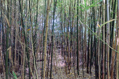 Bamboo forrest with young trees at Dutch plantation Royalty Free Stock Photography