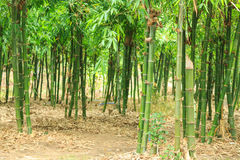 Bamboo free forest Stock Photography