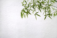 Bamboo in front of a white wall Royalty Free Stock Photos
