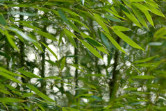 Bamboo garden Stock Images